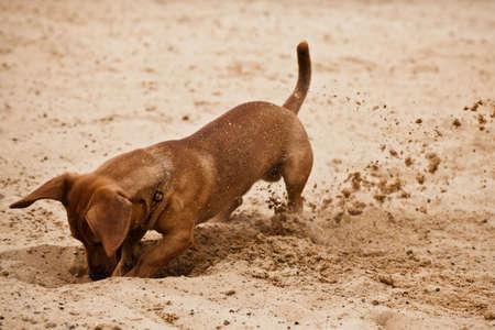 Dachshund puppy Funny está cavando hoyos en la arena de la playa