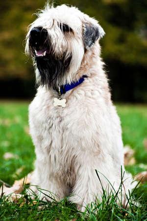 Funny irish soft coated wheaten terrier sit on grass