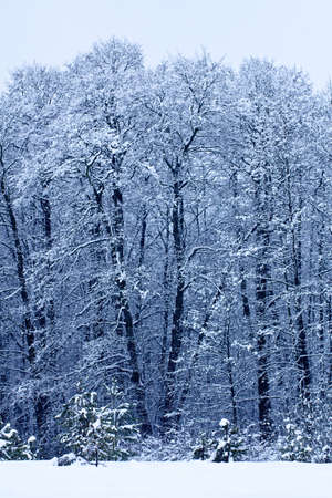 Winter landscape with trees in frosty day photo