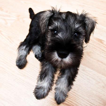 doxie: Puppy minischnauzer lying on the floor Stock Photo