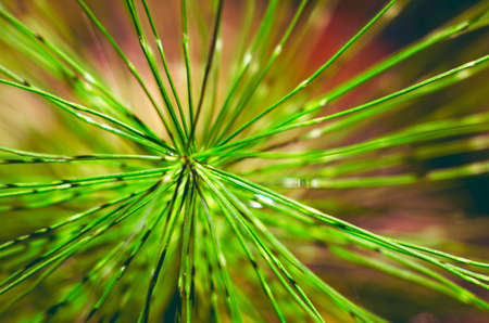needles, the coniferous branch of pine tree, close-up photo photo