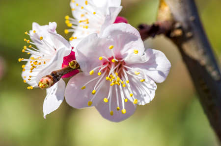 closeup photo of the apple tree flowers photo