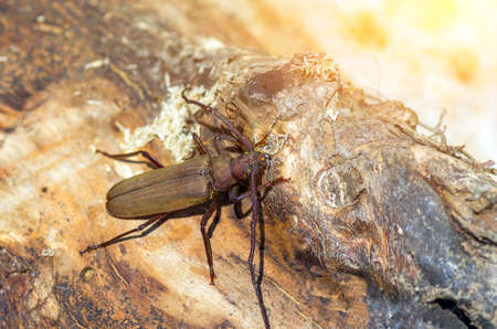 scorching: beetle with long horns sitting under the scorching sun Stock Photo