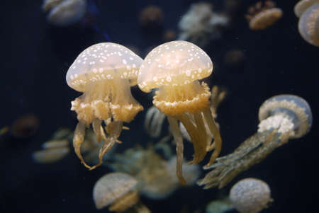 Jellyfish couple