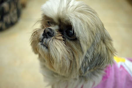 Shih Tzu dog Stock Photo - 27937756