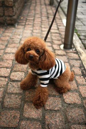 Poodle Dog photo