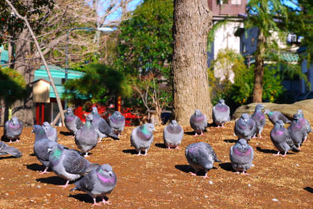 Group of pigeon resting on the sandy Tokyo, Japan