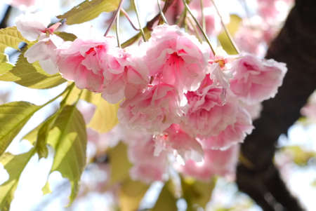 Cherry blossom ,sakura flower Japan, Tokyo