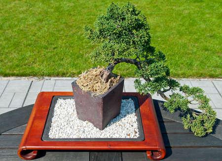 bonsai tree: Bonsai Tree in the Garden Stock Photo