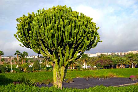 A Euphorbia Cactus in Gran Canaria