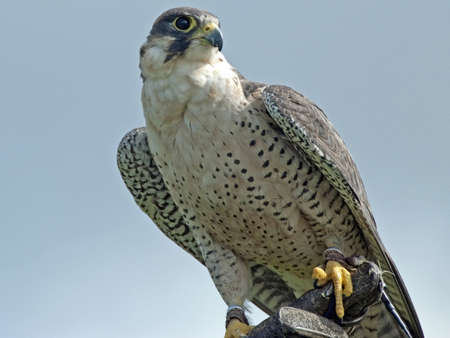 A Gyrfalcon Scientific Name Falco Rusticolus