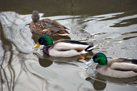 Ducks on the Rochdale Canal at Hebden Bridge Stock Photo