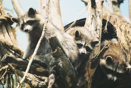 Three Young Raccoons peering out of their nest in a tree