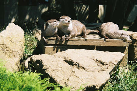 Three Otters basking on a riverbank jetty Stock Photo - 9356223