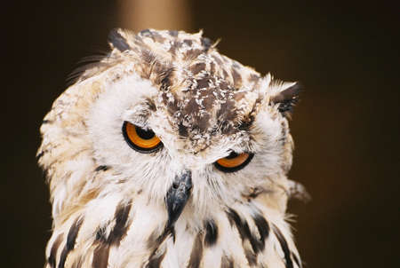A closeup of a Siberian Eagle Owl with piercing orange eyes