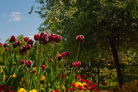 A Flower bed of Tulips,daisies,and pansies photo