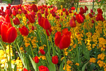A Flowerbed of Red Tulips on a beautiful Spring Day Stock Photo - 9441691