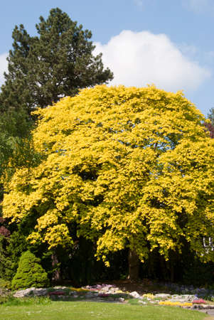 A Yellow Maple Tree under a blue spring sky in an english country park Stock Photo - 9441689