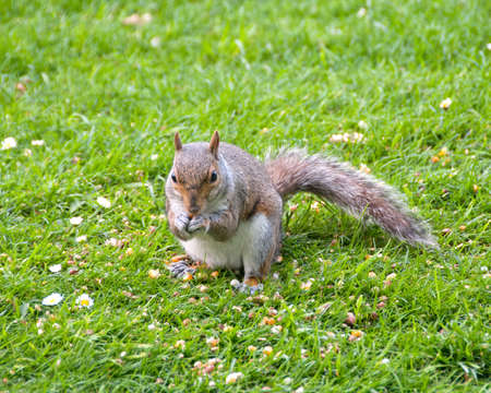 A Gray Squirrel eating nuts on grass in a park photo