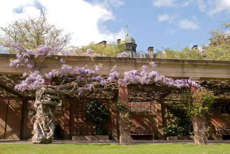 A mature Purple Wisteria climbing up an old Summerhouse in an English park