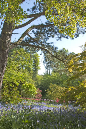 An English Woodland carpeted with Bluebells and Tulips Stock Photo - 9464949
