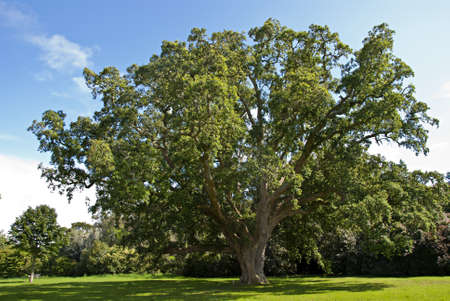 english oak: A Large Cork Oak Tree  Quercus  suber  in an English Park