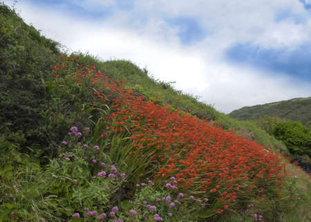 Orange Crocosmia Flowers on a Cornish Hillside