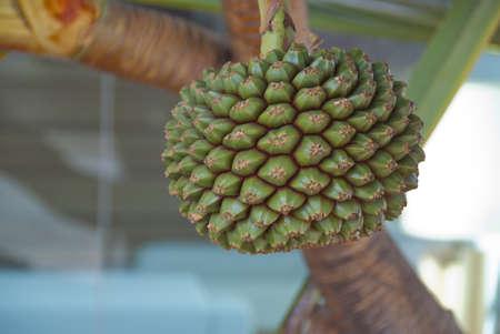 screwpine: The Cone of a Screwpine Tree