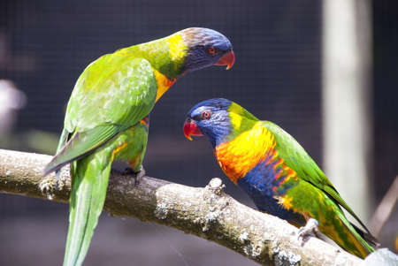two parrots: Two Rainbow Lorikeets perched on a Branch Stock Photo