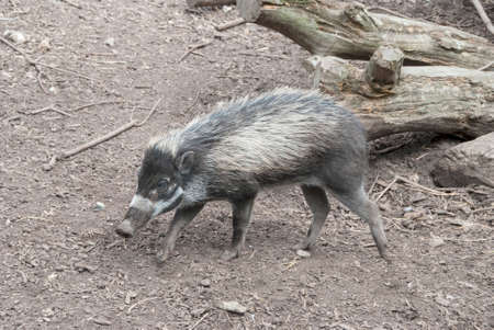 endangered species: A Visayan Warty Pig  (Sus cebifrons) a critically endangered species from the Philippines. Stock Photo