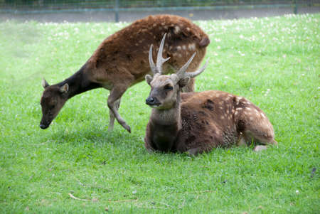 philippine: Male and Female Philippine Spotted Deer( Rusa alfredi) Stock Photo