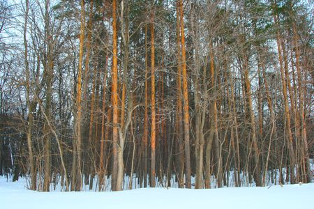 Pines in a forest are covered by frozen snow