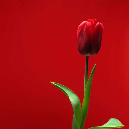 Close-up view of beautiful red tulip with leaves isolated on red background with copy space, spring flower tulip