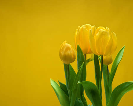 Close-up view of beautiful yellow tulips with leaves isolated on yellow background with copy space, spring flower tulips