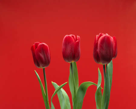 Close-up view of beautiful red tulips with leaves isolated on red background, spring flower tulips