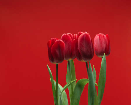 Close-up view of red tulips with leaves isolated on red background with copy space, natural spring flower tulips