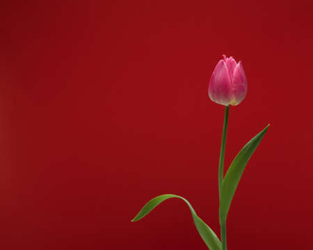Close-up view of beautiful pink tulip with leaves isolated on red background with copy space, spring flower tulip
