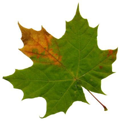 green maple leave over white background photo