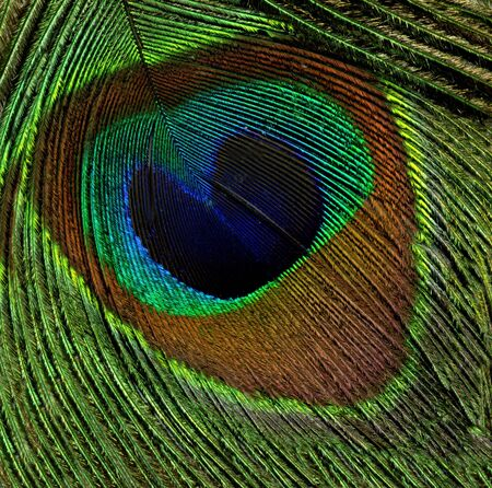 a background of closeup of  peacock feather  photo