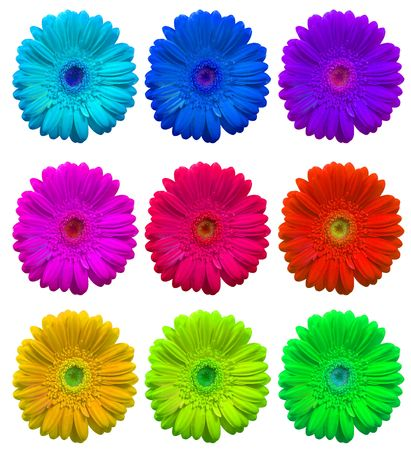 Rainbow set of Gerbera Flowers isolated over white  Stock Photo