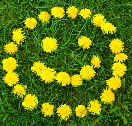 laughing: Close-up of   dandelion flowers smiley at the field