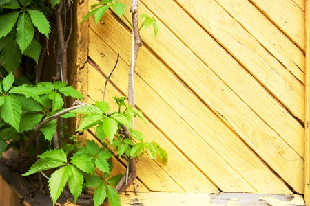 Background of old yellow wall with green leaves of Boston ivy photo