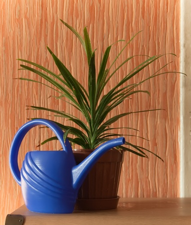 aspidistra: Still life of ficus in pot with can indoor  Stock Photo