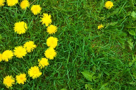making face: Close-up of   dandelion flowers smiley at the field