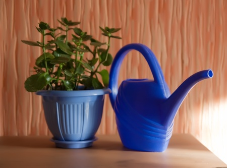 aspidistra: Still life of ficus in pot with can indoor . Shallow DOF