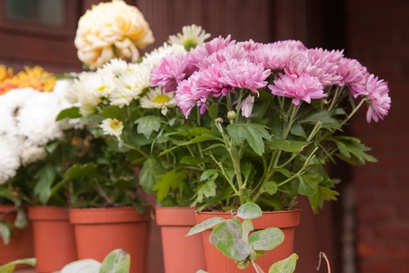 chrysanthemums in pots on the balcony Stock Photo - 13119504