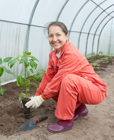 woman planting pepper seedlings in hothouse photo