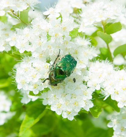 Green Scarab Beetle on spring flower