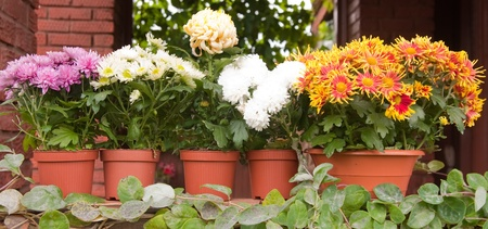 colorful chrysanthemums in plastic pots photo