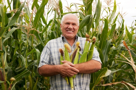 man gathering corn on field Stock Photo